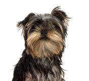 Close-up of a Yorkshire Terrier puppy, isolated Royalty Free Stock Image
