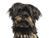 Close-up of a Yorkshire terrier puppy, looking at the camera Royalty Free Stock Image