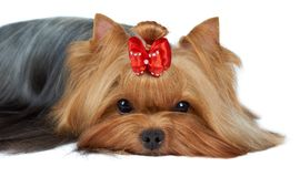 Close-up of Yorkshire terrier's muzzle Royalty Free Stock Photography