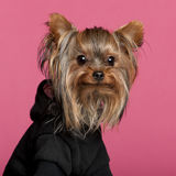Close-up of Yorkshire Terrier wearing black Royalty Free Stock Photo