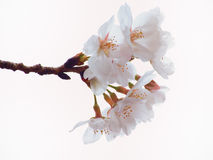 Close up of Yoshino cherry tree blossom in full bloom Stock Photo