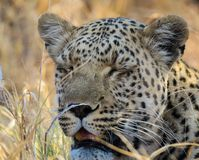 Close up of young african leopard lying in grass with eyes closed. Close up of young african leopard lying in yellow grass taken in natural habitat at Savuti stock images