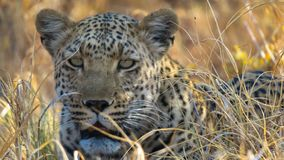 Close up of young african leopard lying in shade. Close up of young male leopard resting in the shade of a bush. The leopard is in his natural habitat - Savuti stock image