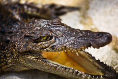Close up of young alligator Stock Photos