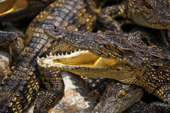 Close up of young alligator Stock Images