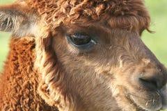 Close up of a young alpaca Stock Photo