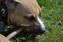 Close up of young American Staffordshire Terrier that gnaws a st Stock Photography