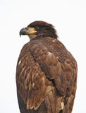 Close up of a Young Bald Eagle Stock Image