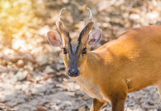 Close up young barking deer Muntiacus muntjak. In the natural Royalty Free Stock Photos