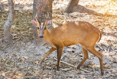Close up young barking deer Muntiacus muntjak. In the natural Royalty Free Stock Image