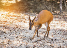 Close up young barking deer Muntiacus muntjak Royalty Free Stock Photography
