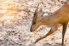 Close up young barking deer Muntiacus muntjak Royalty Free Stock Images