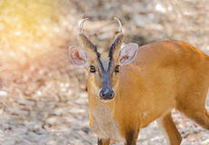 Close up young barking deer Muntiacus muntjak. In the natural Stock Images