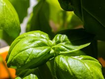 Close-up on young basil plant growing indoor. royalty free stock image