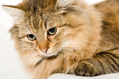 Close Up of a young beautiful cat Royalty Free Stock Photography