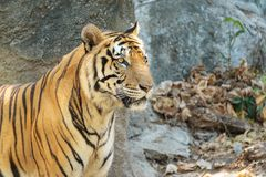 Close up young beautiful great male Indochinese tiger Panthera tigris corbetti in zoo.Adorable big feline wildcat Indochinese ti. Ger with beautiful fur.Tiger royalty free stock photos