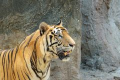 Close up young beautiful great male Indochinese tiger Panthera tigris corbetti in zoo.Adorable big feline wildcat Indochinese ti. Ger with beautiful fur.Tiger royalty free stock image