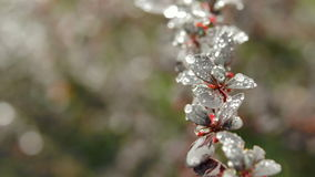 Close-up of young Berberis leaves in garden. stock footage