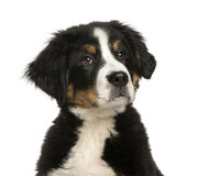 Close-up of a Young Bernese Mountain dog, 3,5 months old Royalty Free Stock Images