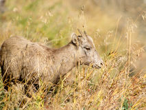 Close up Young Bighorn Sheep Ewe Royalty Free Stock Image