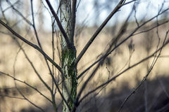 Close-up of a young birch tree Stock Photography