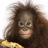 Close-up of a Young Bornean orangutan eating a banana. Looking at the camera, Pongo pygmaeus, 18 months old, isolated on white Royalty Free Stock Images