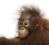 Close-up of a young Bornean orangutan, looking away Royalty Free Stock Photos