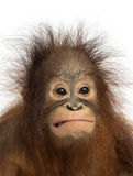 Close-up of a young Bornean orangutan making a face Royalty Free Stock Photo