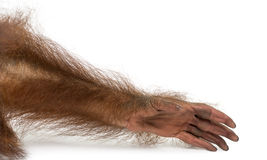Close-up of a young Bornean orangutan's arm, Pongo pygmaeus Royalty Free Stock Images