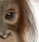 Close-up of a young Bornean orangutan's eye, Pongo pygmaeus Royalty Free Stock Photos