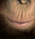 Close-up of young Bornean orangutan's mouth, Pongo pygmaeus Stock Images