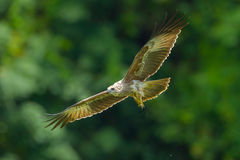 Close up of Young Brahminy kite Royalty Free Stock Photo
