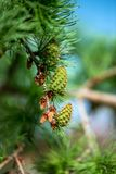 Close up of young branches and cones of conifers. Selective focus, copy space Royalty Free Stock Photography