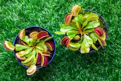 Young bright green Dionaea muscipula. Close-up of a young bright green Dionaea muscipula in a pot on a green artificial grass, top view Stock Images