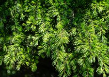 Close-up of young brightly green needles of Himalayan cedar Cedrus Deodara, Deodar growing on Black Sea coast. In city Tuapse. Selective focus. Beautiful royalty free stock images