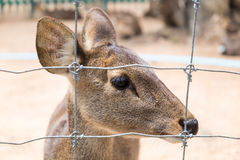 Close up young brown deer Royalty Free Stock Image