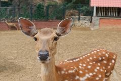 Close-up of young brown deer without hornes in zoo royalty free stock photography