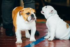 Close Up Young Brown And White English Bulldog Dog Stock Images