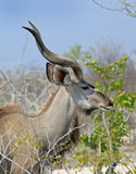Close up of an  Young Bull Kudu Head Stock Photography