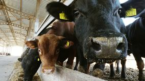 Close-up. young bulls chew hay. flies fly around. Row of cows, big black purebred, breeding bulls eat hay. agriculture