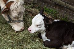Close up of young calf and mother cow Royalty Free Stock Photography