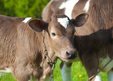 Close up of a young calfs Stock Photos