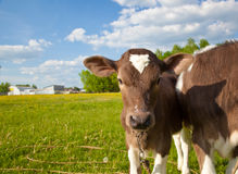 Close up of a young calfs Royalty Free Stock Photo