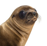 Close-up of a Young California Sea Lion stock photo