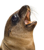 Close-up of a Young California Sea Lion Royalty Free Stock Photo