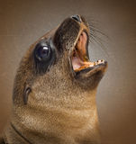 Close-up of a Young California Sea Lion,shouting Stock Images