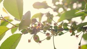 Close up of young cherries hanging on a cherry tree branch. Calyx is falling and young fruit is growing. Close up of young cherries hanging on a cherry tree stock footage
