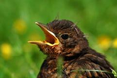 Close up of young Common Blackbird. Stock Photos
