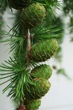 Close-up of young cone fruit on a branch of larch Larix decidua. Close-up of young cone fruit on a branch with needles of larch needles Larix decidua in the royalty free stock image