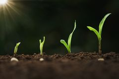 Close Up Young Corn Growing Step In Farm Royalty Free Stock Image